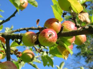 Verse appels voor appeltaart