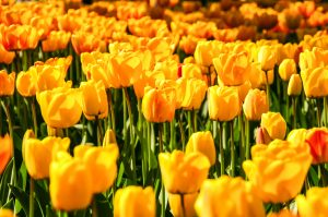 Prinsjesdag tulpen